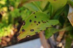 Storczykowy kwiatu punktu disase od grzyb?w fotografia stock