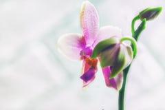 Storczykowy Liodoro Phalaenopsis hybryd Obraz Stock