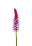 Storczykowy pierwiosnek (Primula vialii) zdjęcie royalty free