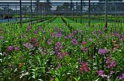 Storczykowy plantaci gospodarstwo rolne Zdjęcie Royalty Free