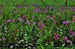 Storczykowy plantaci gospodarstwo rolne Obrazy Royalty Free