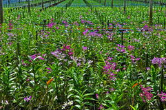 Storczykowy plantaci gospodarstwo rolne Zdjęcia Stock