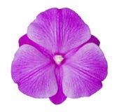 storczykowy purpurowy biel Fotografia Royalty Free