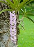 storczykowy purpurowy biel Zdjęcie Stock