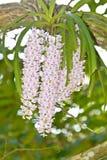 storczykowy purpurowy biel Zdjęcia Stock
