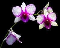 storczykowy purpurowy biel Zdjęcia Royalty Free