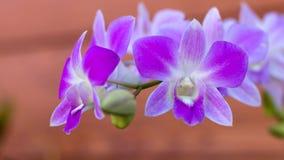 storczykowy purpurowy biel Fotografia Stock