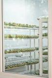Storczykowy tkankowy kultury dorośnięcie w butelce Fotografia Stock
