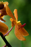 storczykowy Vanda Zdjęcie Royalty Free