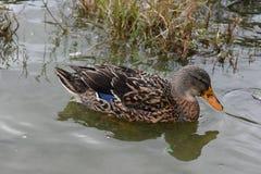 Stordimento Brown Duck Swimming in Marsh Grass fotografie stock libere da diritti