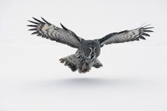 Store-grå färger uggla, Strixnebulosa Fotografering för Bildbyråer