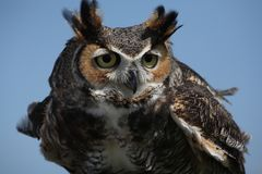 Store-horned Owl Royaltyfria Foton