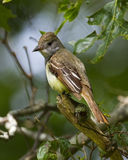 Store krönad flycatcher som söker efter ett mellanmål Arkivbild