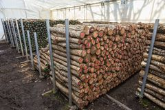 Stored cut logs for growing Shitake mushrooms. Stored cut logs in white tent in preparation for growing Japanese Shitake mushrooms, organized each pile by color Stock Photo