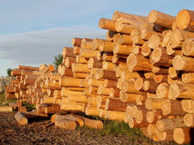 The stored logs of coniferous breeds Royalty Free Stock Images