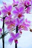 Storen specificerar! Älskvärda delikata vita och purpurfärgade orkidér Fotografering för Bildbyråer