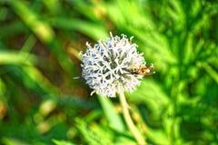 Storen specificerar! Ett bi på en vit blomma för nedgång Arkivbild
