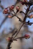 Storen specificerar! klar vinterdag och blommaknoppar på filialerna av träd på en klar blå himmel Royaltyfri Foto