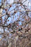 Storen specificerar! klar vinterdag och blommaknoppar på filialerna av träd på en klar blå himmel Royaltyfri Fotografi