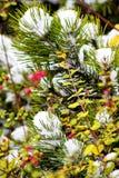 Storen specificerar! Ljust - gröna visare av sörjer täckas med snö Royaltyfri Foto