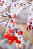 Storen specificerar! Röda bär som täckas med rimfrost Arkivfoton