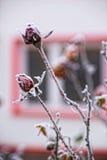 Storen specificerar! Rosor som täckas med frost Royaltyfria Bilder