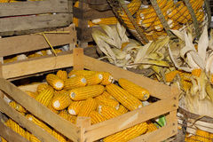 Storing corn in wooden crates Royalty Free Stock Image