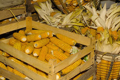 Storing corn in wooden crates Royalty Free Stock Photo