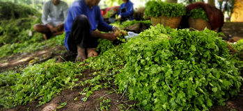 Storing and sort out Vegetable farming. Farmers were storing and sort out Vegetable farming, For sale stock photography
