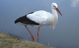 Stork. A stork in the water, with a water dropplet on its beak stock images