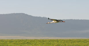 Stork. A white wild stork flying in Ngorongoro crater in africa Stock Image