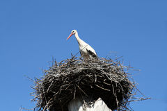 Stork. In its nest on blue background stock photo