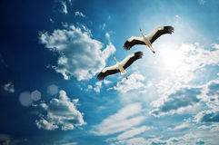 Stork. Couple in blue sky Stock Image