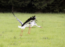 Stork Stock Photography