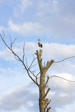 Stork. On a tree over blue sky and white clouds Stock Photos