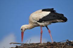 Stork. In the nest on top of the house Stock Image