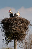 Stork Royalty Free Stock Image