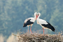 Stork. Two stork on nest closeup Royalty Free Stock Image