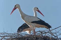 Stork 2 Royalty Free Stock Photography