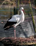 Stork. Standing in his nest. Taken in Spring 2007 Royalty Free Stock Image