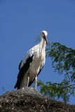 Stork Stock Photos