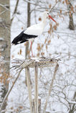 Stork Arkivbilder