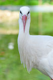 Stork. Head of a stork on the lake background Stock Photos
