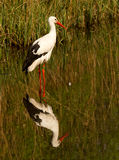 A stork. In the water Stock Image
