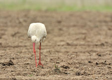 Stork. A stork in the field Stock Photo