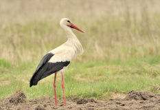 Stork. A stork in the field Stock Image