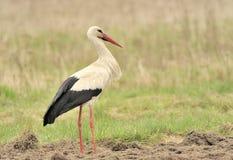 Stork Stock Image