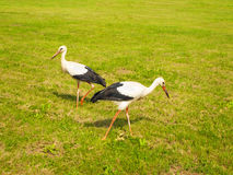 Stork. On the green lawn Royalty Free Stock Photography