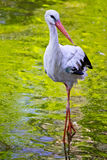 A stork Royalty Free Stock Photo