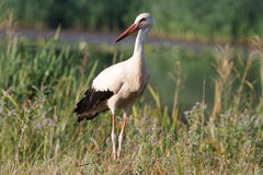 Stork. Beautiful adult storks on the field Royalty Free Stock Photography